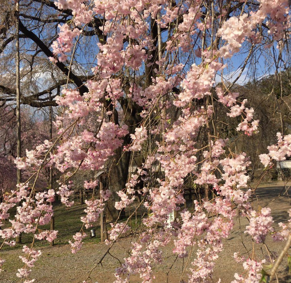 定期的に咲く桜