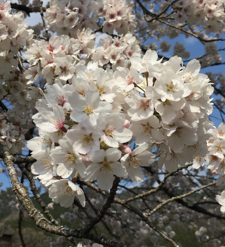 定期的に春に咲く桜